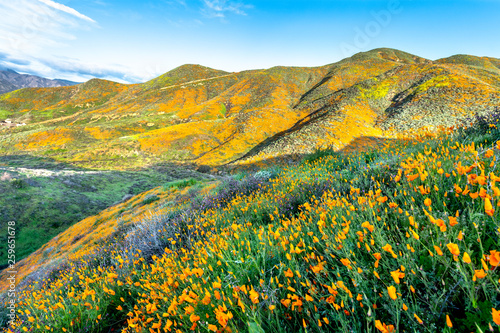 Poppies blooming on hillside - 259651678