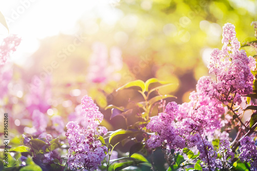 Foto op Plexiglas Lilac Purple lilac flowers in spring sunshine