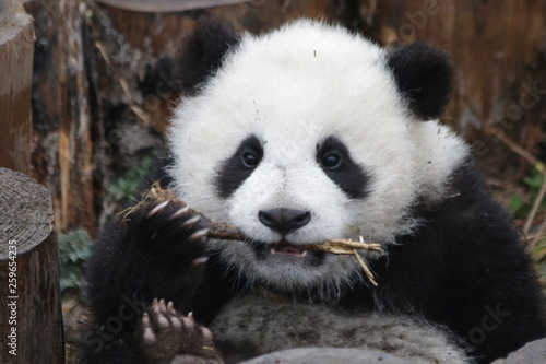 Stickers pour portes Panda Close up Fluffy Face of Little Baby Panda Cub with a bamboo stick