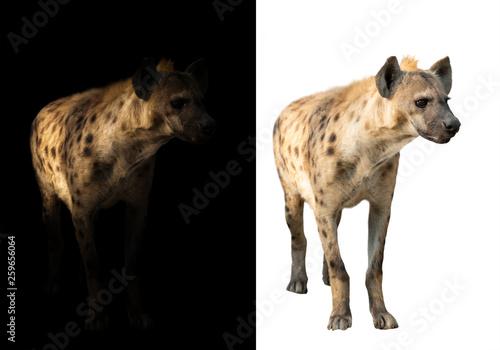 Obraz na plátně spotted hyena in the dark and white background