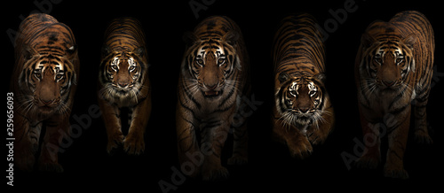 Photo sur Toile Tigre tiger (Panthera tigris) in dark background