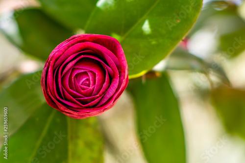 Macro images of rose flowers