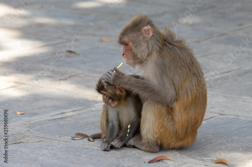 Fotografie, Obraz  Macaque or Macaca Eating Biscuits