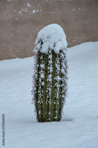 Barrel cactus in a Scottsdale Arizona backyard after a snow storm