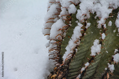 Barrel cactus covered in snow after storm in Scottsdale Arizona