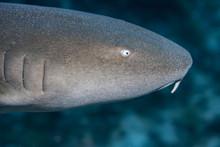 Close-up Profile Image Of A Beautiful Juvenile Nurse Shark.