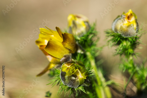 pheasant's eye, adonis vernalis, plant with yellow flowers blooming in early spring Canvas Print