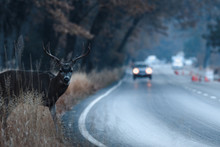 Male Mule Deer Attempting To Cross The Road In Yosemite Valley In Early Morning
