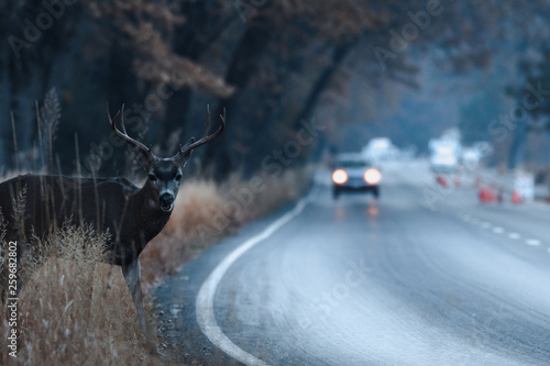 Photo sur Toile Cerf Male mule deer attempting to cross the road in Yosemite Valley in early morning