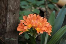 Clivia En Fleurs