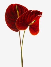 Red Anthurium, Laceleaf Flower...