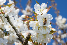 Flying Bee In Spring Blooming On Closeup In Cherry Tree