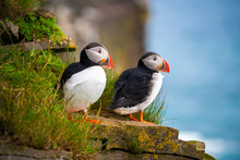 Atlantic Puffin Also Know As C...