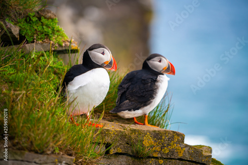 Atlantic puffin also know as common puffin is a species of seabird in the auk family Tablou Canvas