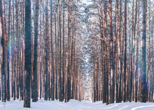 Canvas Prints Birch Grove Beautiful winter forest with ski track. Tall snow covered pines in sunny weather. Wonderful place for relax and weekend. Winter fairytale