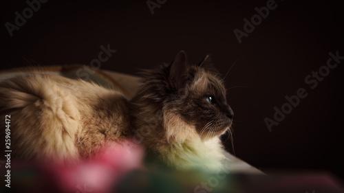 Valokuva ragdoll cat portait closeup on dark background