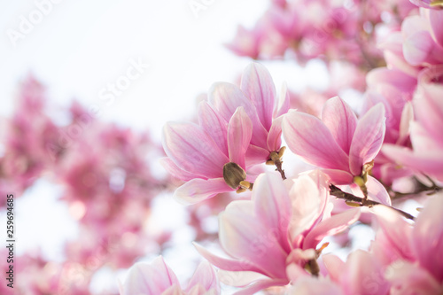 Magnolia flowers spring blossom background. Selective focus