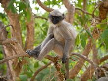 Monkey Langur