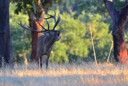 Poster Cerf A adult red deer stag.