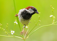 A Male House Sparrow (Passer D...