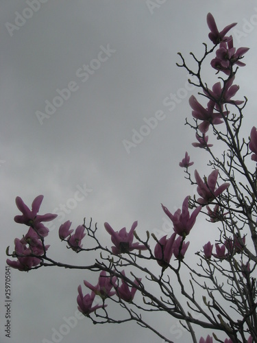 Photo  Mulan Trees, Tulip Magnolias, Saucer Magnolias, Brilliant Magnolias Flower Blossom in Spring on Rainy, Grey Cloudy Sky Background