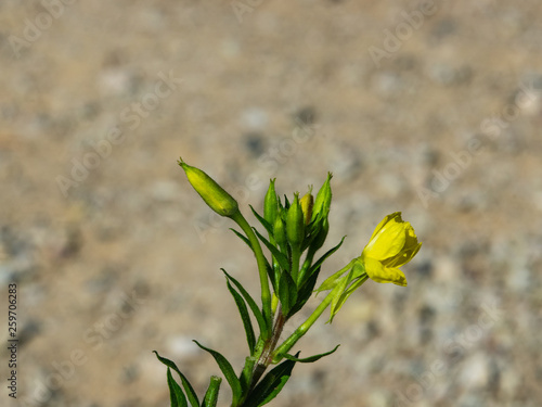 Yellow flowers on Evening Primrose or Oenothera Biennis close-up with bokeh back Canvas Print
