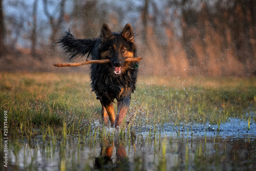 Fototapeta Happy dog in splashing water, retrieving a stick, running directly at camera. Active dog in nature. Direct view on dog in training. Bohemian shepherd, purebred. Low angle photo, direct view. Czechia. - obraz na płótnie