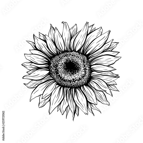 Sunflower hand drawn vector illustration. Floral ink pen ...