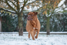 French Mastiff In The Snow
