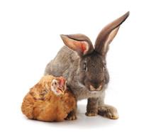 Chicken With Rabbit.