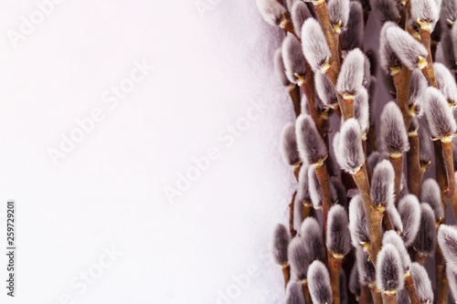 Fototapeta willow branches with gray cones lie as a natural background in the snow along the right edge, with copy space obraz na płótnie