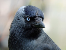 Close Up Portrait Of A Jackdaw With Head Filling The Frame Looking At The Camera With Blue Eyes On A Light Background