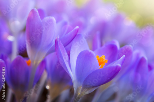 Foto op Canvas Krokussen Spring background with close-up of a group of blooming purple crocus flowers .