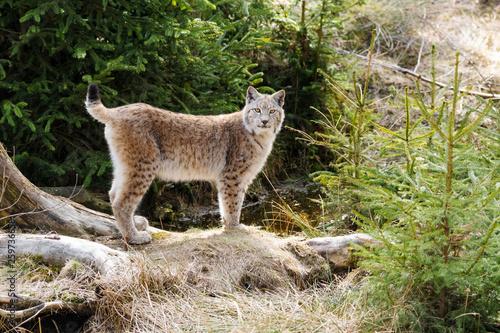 Poster Lynx Luchs Merkmale