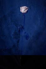 Rosa Blanca Y Azul