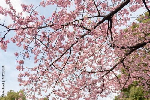 Cerisier du Japon en Fleurs Wallpaper Mural