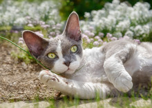 Devon Rex Bicolor Cat Lying In A Flowering Garden And Playing With A Blade Of Grass