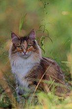 Norwegian Forest Cat Lurking In High Hay In Summer Time