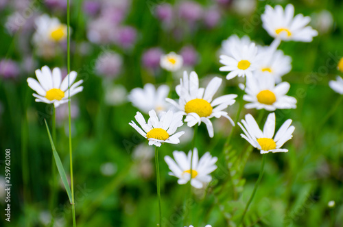 Wild daisies with flies growing in Duck Mountain Provincial Park Wallpaper Mural