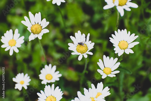 Photo  Wild daisies with flies growing in Duck Mountain Provincial Park