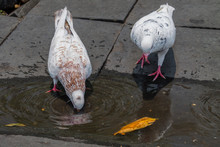 Two Pigeons Drinking From A Puddle Of Water, Indonesia