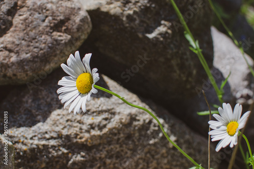 Daisies at Duck Mountain Provincial Park Wallpaper Mural