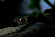 Close-up Of A Python With Glow...