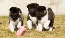 American Akita Puppy For A Walk