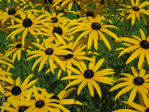 Fotografia, Obraz  Rudbekia flowers field, blossoming, summer time, floral background