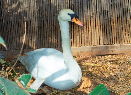 charming duck incubates the egg Canvas Print