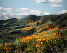 California Poppies Blooming In Foothills Of Riverside County, California, United States