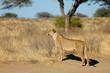 canvas print picture - Alert lioness (Panthera leo) in natural habitat, Kalahari desert, South Africa.