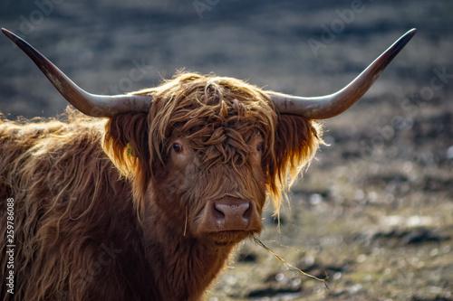 Portrait Kopf gehörntes schottisches Hochland Rind im Sonnenschein auf einer Weide in der Uckermark