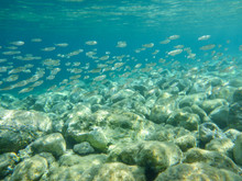 UNDERWATER View A Small Fish Flock In The Turquoise Clear Water And White Pebbles Scattered Off The Seabed Of The Antisamos Bay, Kefalonia Island, Ionian Sea, Greece.